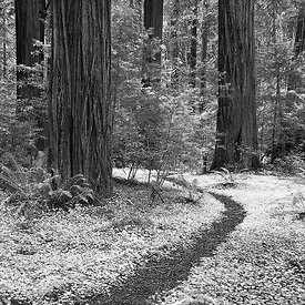 REDWOOD TRAIL