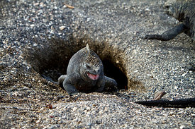 A marine iguana crawls out of it's den near Punta Espinosa.