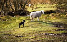 A newborn lamb with a new mother on farmland  on a sunny day in the Lake District, England, UK.