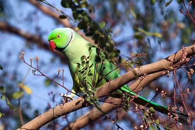 Parakeet at the Tree of Life for Animals rescue center in Pushkar, India
