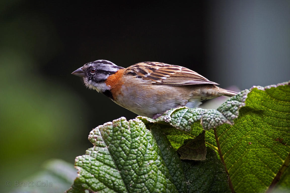 Rufus-collared sparrow (Zonotrichia capensis) CR SP – Chingolo, on the summit of Volcan Poas, Costa Rica
