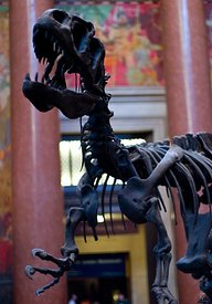 T-Rex at American Museum of Natural History