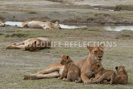 lion_family_sleeping_with_the_pride_6