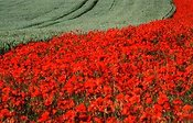 Poppies at Thruxton Down