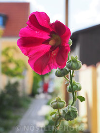 Alcea in Dragør