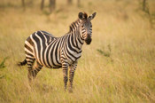 Burchell's zebra (Equus burchellii), Lake Mburo National Park, Uganda