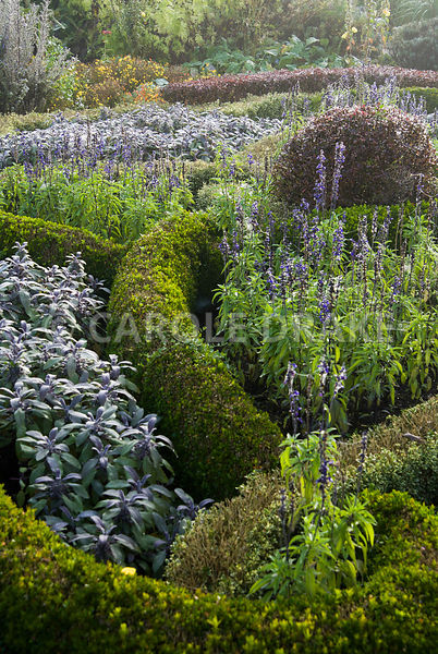 The knot garden in the Formal Garden is made of box and berberis, infilled with purple sage and blue flowering bedding salvia...