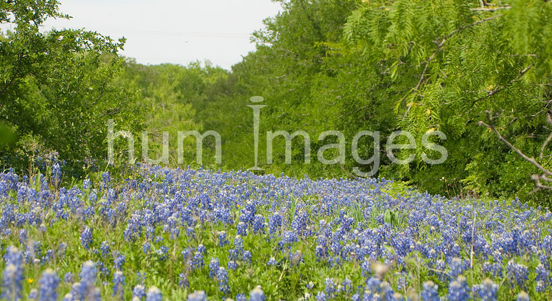 Nature Stock Photos: Meadow filled with beautiful bluebonnets