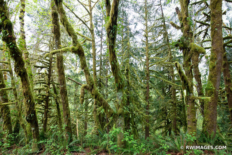 HOH RAINFOREST OLYMPIC NATIONAL PARK WASHINGTON PACIFIC NORTHWEST FOREST