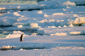 A emperor penguin walking on glacier at the sunset.