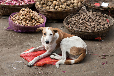 Dog at a market in Bharatpur, Rajasthan, India
