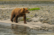 Grizzly Walking Katmai National Park, Alaska