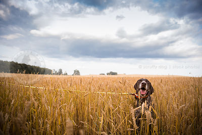 brown speckled dog sitting in deep wheat crop under stormy sky