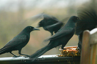 Grackles, Long Island, NY