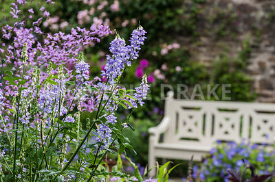 Airy thalictrums and galega flowers frame the painted wooden bench in the walled garden. Bosvigo, Truro, Cornwall, UK