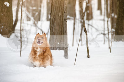 crazy red collie dog running fast through deep snow