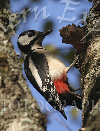 Great_Spotted_Woodpecker_5