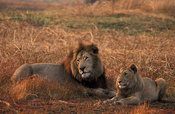 Lion with cub, panthera leo, Kafue National Park, Zambia