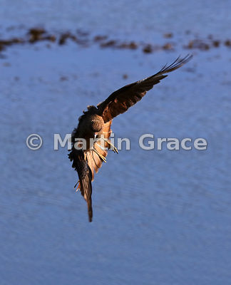 Side-lit Chimango Caracara (Milvago chimango) turns in flight, Ushuaia, Tierra del Fuego, Argentina