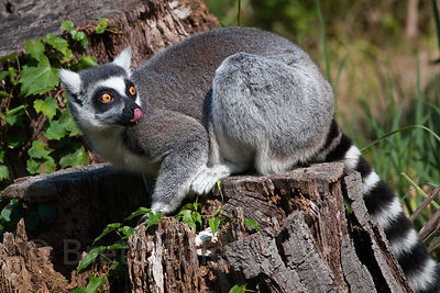 Ring-tailed Lemur (Lemur catta), National Zoo, Washington, D.C.