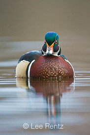 Wood Duck (Aix sponsa) male on lake surface accompanying his mate (unseen in this photograph) during nesting season, Fawn Lak...