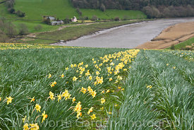 Vestiges of the Daffodil industry in the Tamar Valley - fields of daffodils still growing on the banks of the River Tamar. © ...