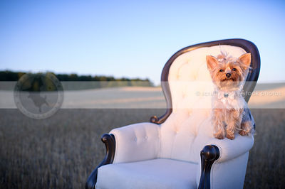 sweet groomed yorkie dog with bow perched on chair in field