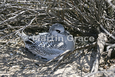 Red-Billed Tropic Bird (Phaethon aethereus) nestling, Nosy Ve Island, Madagascar