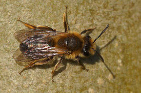 Andrena helvola / mitis , female at Kanaalbermen, Bellem  ( 2015/04/21)