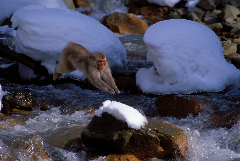 Snow monkey leaping
