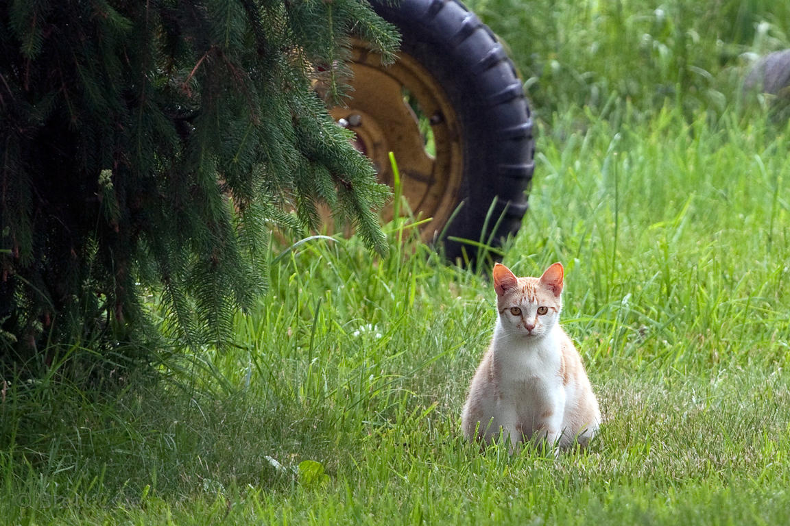 Cat on a dairy farm along the Wallkill River, New York