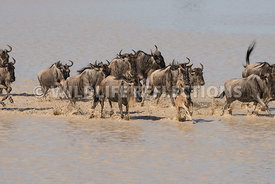 wildebeest_lake_crossing_sequence_02242015-90