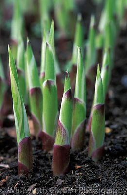 New growth of Hosta leaves emerging from the soil. © Rob Whitworth