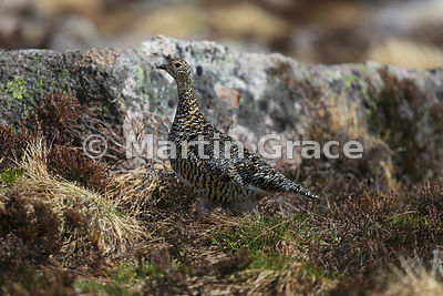 Rock Ptarmigan female (Lagopus muta) in her cryptic breeding plumage, June 9, Cairngorm, Scottish Highlands
