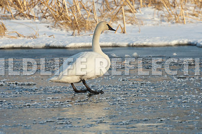 trumpeter_swan_standing_ice_cubes20120101_0002