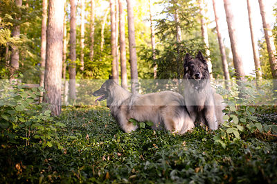 two longhaired pretty shepherd dogs posing in summer vegetation