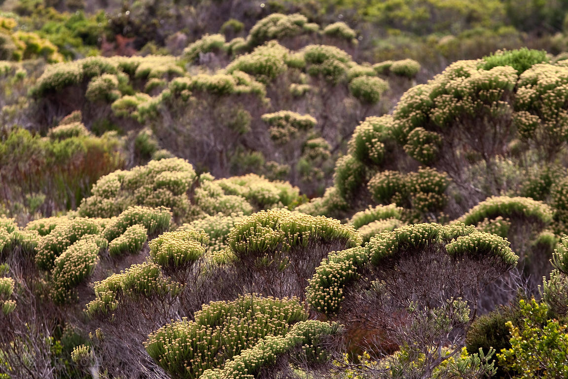 Native fynbos vegetation, hallmark of the Cape Floral Kingdom, the smallest and richest of the Earth's floral kingdoms, Buffe...