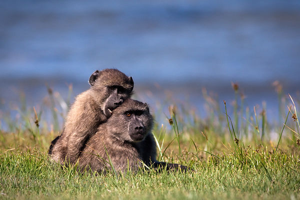 Juvenile baboons from the Buffels Bay troop play fight at Buffels Bay, Cape Peninsula, South Africa