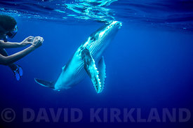 Swimming with whales at Vavaʻu Tonga