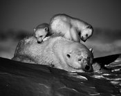 5759-Polar_bear-Playground_Baffin_Island_Canada_2016_Laurent_Baheux