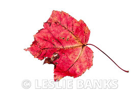 Dried red and brown maple leaf isolated on white