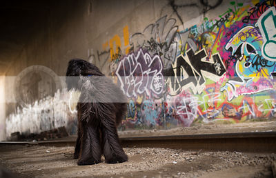 black longhaired dog looking away in urban graffiti train tunnel