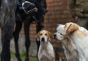 Cottesmore foxhounds
