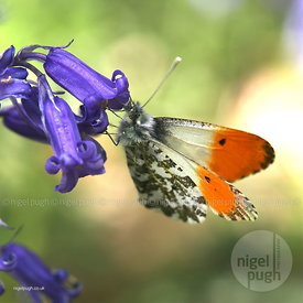 Orange tip (male) butterfly: