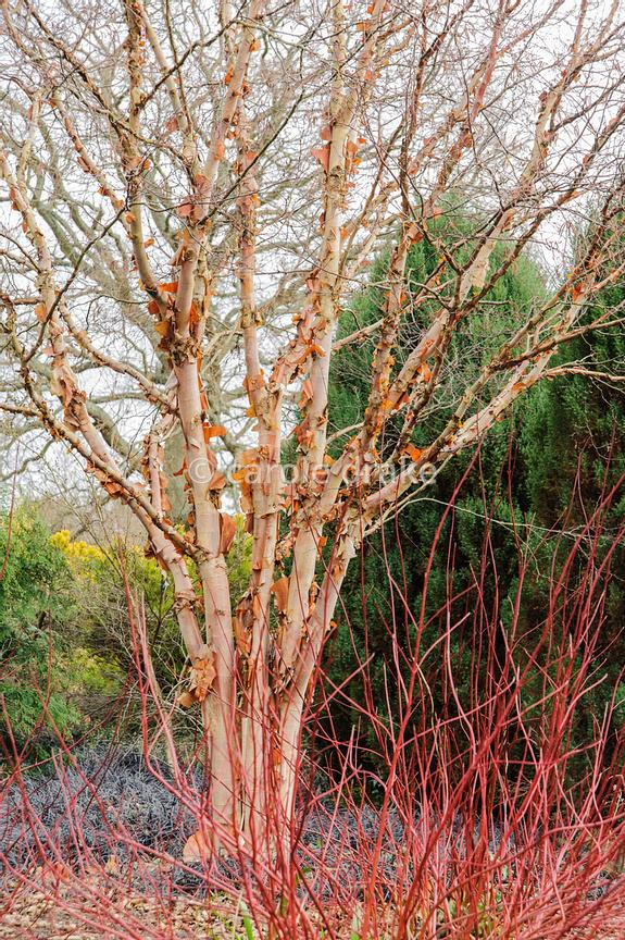 Betula albosinensis 'Bowling Green'. Sir Harold Hillier Gardens, Ampfield, Romsey, Hants, UK