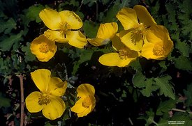 Yellow Wood Poppy