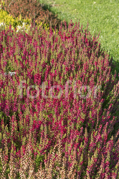 Calluna vulgaris 'Dark Beauty', bruyère commune, rouge