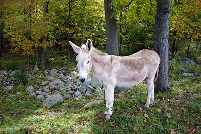 Donkey in forest on a farm in Glynwood, Hudson, New York