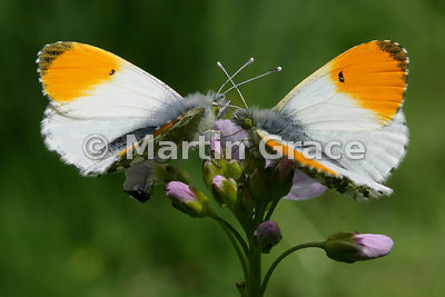 Two male Orange Tip butterflies (Anthocharis cardamines) waiting on Cuckoo Flower (Lady's Smock) (Cardamine pratensis) for a ...