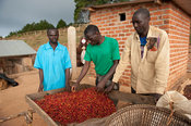 Coffee sorting, Coffee station, Misuku Hills, Malawi